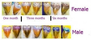A-budgies-sex-difference-with-color-differences-on-their-ceres