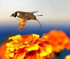 Hummingbird-Hawk-moth