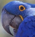 The-parrots-beak-is-peeling-flaking