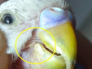 Treat the parrot beak's fungal infection with tea tree oil