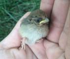 a-wild-baby-bird