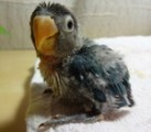 dehydrated-baby-bird