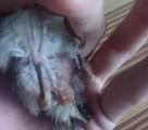 rectal-prolapse-of-bird