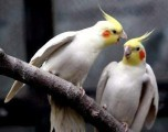 the-sex-of-cockatiel